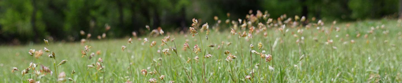 Grass like weed w small purple flowers turfgrass for Grass like flowering plants